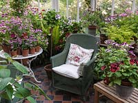 North facing conservatory with collection of pelargoniums, and wicker chairs for sitting in the cool in the summer. Fern in planter.