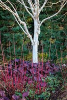 Betula var. jacquemontii 'Grayswood Ghost' with Bergenia Bressingham Ruby, Himalayan Birch. February.