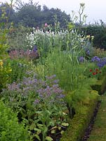 Perennials and herbs in box edged beds. Seen here: borage, fennel, salvia, catmint, campanula, poppy, eryngium, Galega officinalis Alba.