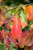 Parrotia persica, Persian ironwood, a dense, spreading short tree with rich green leaves that turn yellow, orange and red in autumn. Deciduous.