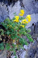 Corydalis lutea growing from crack in wall