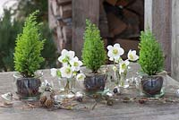 Helleborus niger flowers in glass jars with miniature conifers - Chamaecyparis 'Ellwoodii'