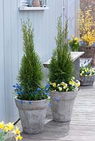 Thuja occidentalis 'Smaragd', Scilla and Viola cornuta in containers