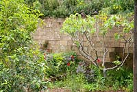 A Perfumer's Garden in Grasse by L'Occitane. Block wall with Rosa centifolia, borage - Borago officinalis, dyer's woad - Isatis tinctoria, and field poppies - Papaver rhoeas, Fig - Ficus carica