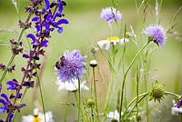 Knautia arvensis - Field Scabious with bees, Salvia pratensis and Meadow Clary