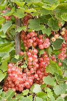 Ribes rubrum 'Gloire de Sablons' - Pinkcurrants on the bush