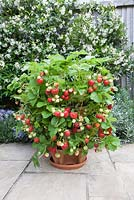 Three tier strawberry pot planted with strawberries