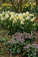Spring association - varieties of narcissus - daffodil, including 'February Silver', Corydalis solida, Broadlands Garden, Dorset NGS