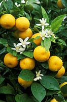 Citrus x citrofortunella microcarpa - calamondin orange, fruit and blossom with water drops on leaves.