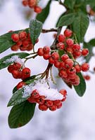 Cotoneaster heaselands coral, berries with snow, December