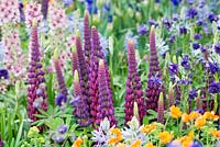 The Morgan Stanley Healthy Cities Garden. Colourful planting of Lupinus 'Masterpiece', Aquilegia vulgaris 'Blue Barlow', Verbascum 'Merlin' and Geum 'Princess Juliana'