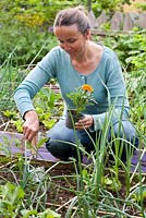 Woman planting flowering annuals - Tagetes patula in vegetable raised bed to attract beneficial insects and aid pollination.