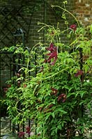 Clematis alpina 'Constance' scrambling up wrought iron railings in the courtyard