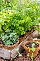 A tray of herbs in fibre pots, including parsley, oregano and rosemary. RHS Chelsea Flower Show 2015