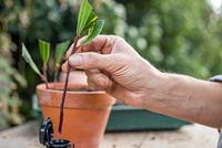Coat the bottom of the semi-ripe Laurel cuttings with Rooting Hormone Gel