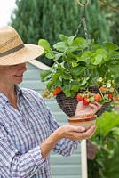 Woman picking fruit from the Strawberry hanging basket