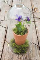 Viola odorata and moss planted in small terracotta pot, encased within a glass dome