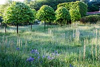 The Meadow - avenue of Corylus colurna - Turkish Hazel clipped into lillipop shape. Tunnel of Carpinus betulus - Hornbeam.