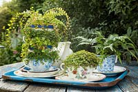 A variety of vintage tea cups planted with Baby's Tears