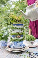 Watering with a tea pot, containers made from vintage tea cups planted with Baby's Tears