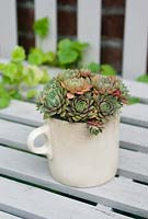 Houseleek planted in old china mug