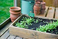 Growing salad leaves young leaves in wooden crate