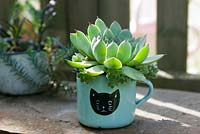 Echeveria planted in enamel cup