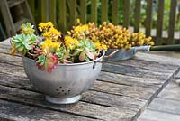 Vintage  metal colander planted up with succulent