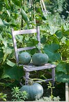 Curcurbita Maxima 'Crown Prince' - Pumpkins on painted chair in vegetable plot