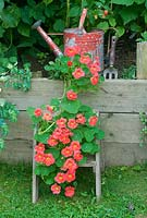 Tropaeolum 'Jewel Cherry Rose' Nasturtium  on wooden steps with painted watering can