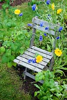 Small wooden chair in raspberry bed with annuals