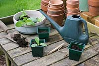 Potting up young borage plants on wooden potting bench