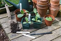 Potting up young borage plants on wooden potting bench - labelling