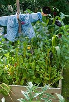 Scarecrow in vegetable bed in summer with chard borage and sweetcorn