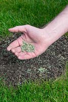 Restoring a damaged lawn step by step - Sow grass seed onto bare soil.