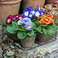 A winter display of colourful primulas in terracotta pots.