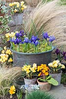 Iris reticulata in large copper pot, surrounded by galvanised containers of Crocus 'Cream Beauty', flowering in February. Behind, Stipa tenuissima.