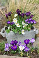 In late winter, a wooden box planted with bulbs: Anemone blanda 'White Splendour', windflower, Crocus 'Ruby Giant' and Iris reticulata 'Pixie'.
