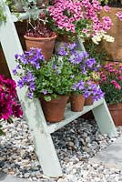 Old wooden painted step ladder used to display pots of campanula, diascia and houseleeks.