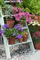 Old wooden painted step ladder used to display pots of campanula, diascia and houseleeks. Hampton Court Flower Show 2015