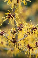 Hamamelis x intermedia 'Barmstedt Gold' - Witch Hazel: February, late Winter.