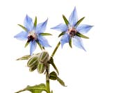 Borago officinalis - Borage