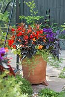 Tropical pot containing Helichrysum petiolare 'Gold', Heliotropium arborescens 'Butterfly Kisses', Begonia boliviensis 'Santa Cruz Sunset', Begonia 'Glowing Embers' and Ipomoea 'Bright Ideas Black' Bright Ideas series