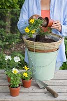 Removing Bidens Bidy 'Gonzales Big' Red Fox from pot, ready to plant in hanging basket