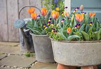 Viola tricolor and Tulipa 'Orange Princess' planted in galvanized steel basins