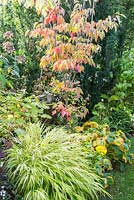 Autumn scene with Cornus kousa 'Venus', Hakonechloa macra 'Aureola' and Hosta