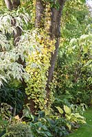 Tree trunks with climber in early autumn, plants are Cornus kousa, Hosta sieboldiana, Hydrangea petiolaris 'Miranda' and Prunus serrulata 'Kanzan'