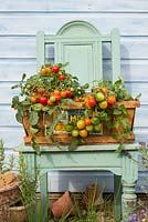 Tomatoes, outdoor type, 'Tumbling Red', displayed in vintage wooden vegetable box.