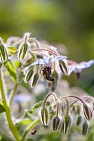 Borago officinalis - Borage with bee