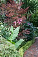 Acer palmatum 'Beni Otake' with Clerodendron bungei and pink flowers of Canna iridiflora, border lined with clipped hedge of Lonicera nitida 'Baggesen's Gold'